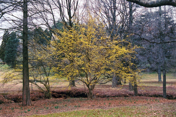 Japanese Cornelian Dogwood (Cornus officinalis) at Country Basket Garden Centre