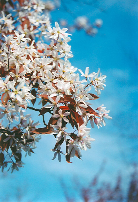 Robin Hill Serviceberry (Amelanchier x grandiflora 'Robin Hill') at Country Basket Garden Centre