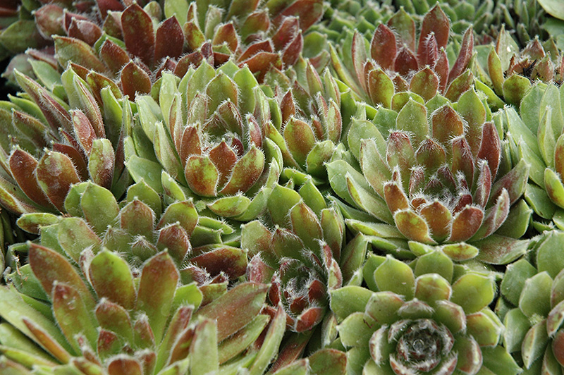 Ashes of Roses Hens And Chicks (Sempervivum 'Ashes of Roses') at Country Basket Garden Centre