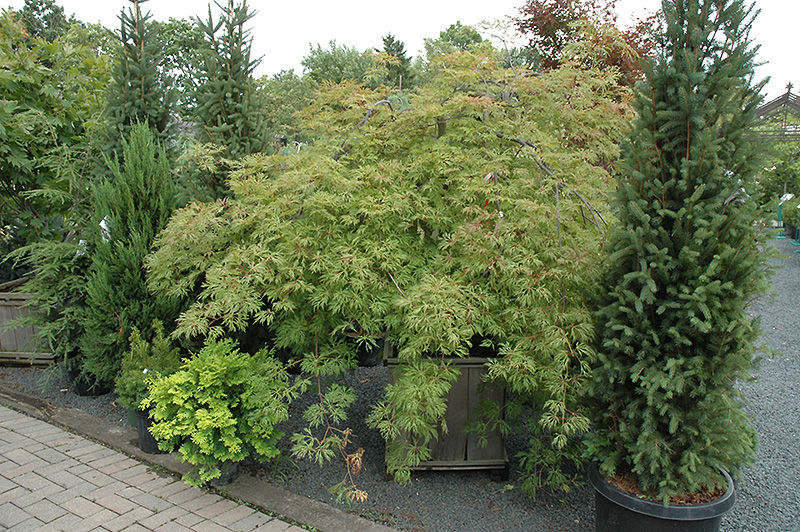 Green Cascade Maple (Acer japonicum 'Green Cascade') at Country Basket Garden Centre