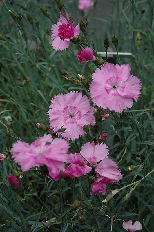 Pinks (Dianthus plumarius) at Country Basket Garden Centre