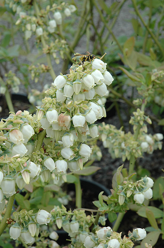 Blueray Blueberry (Vaccinium corymbosum 'Blueray') at Country Basket Garden Centre