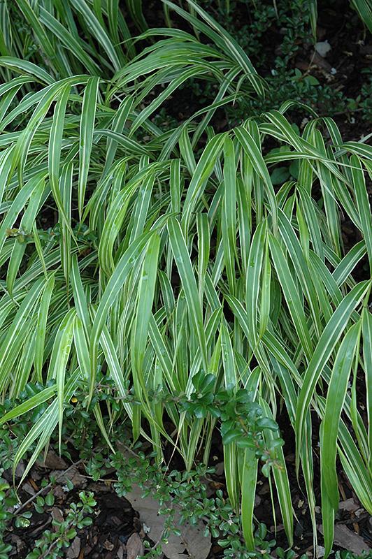 White Striped Hakone Grass (Hakonechloa macra 'Albo Striata') at Country Basket Garden Centre