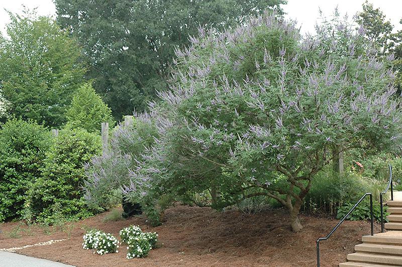 Lavender Lady Chaste Tree (Vitex agnus-castus 'Lavender Lady') at Country Basket Garden Centre