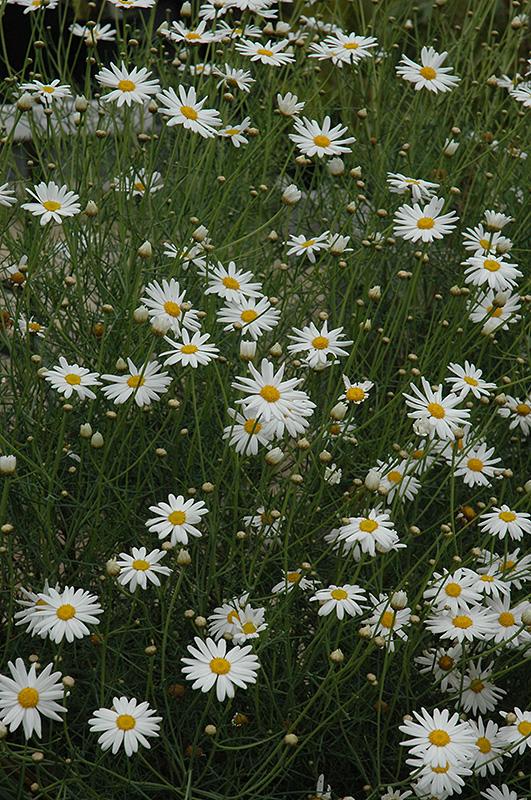 Marguerite Daisy (Argyranthemum gracile) at Country Basket Garden Centre