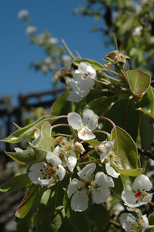 Clapp's Favorite Pear (Pyrus communis 'Clapp's Favorite') at Country Basket Garden Centre