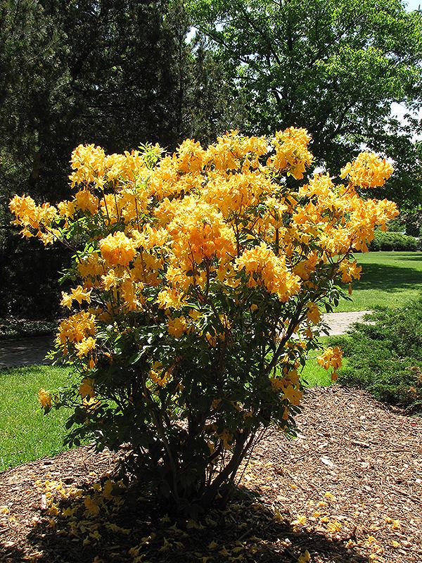 Golden Lights Azalea (Rhododendron 'Golden Lights') at Country Basket Garden Centre