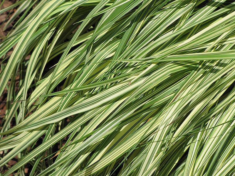 Variegated Moor Grass (Molinia caerulea 'Variegata') at Country Basket Garden Centre