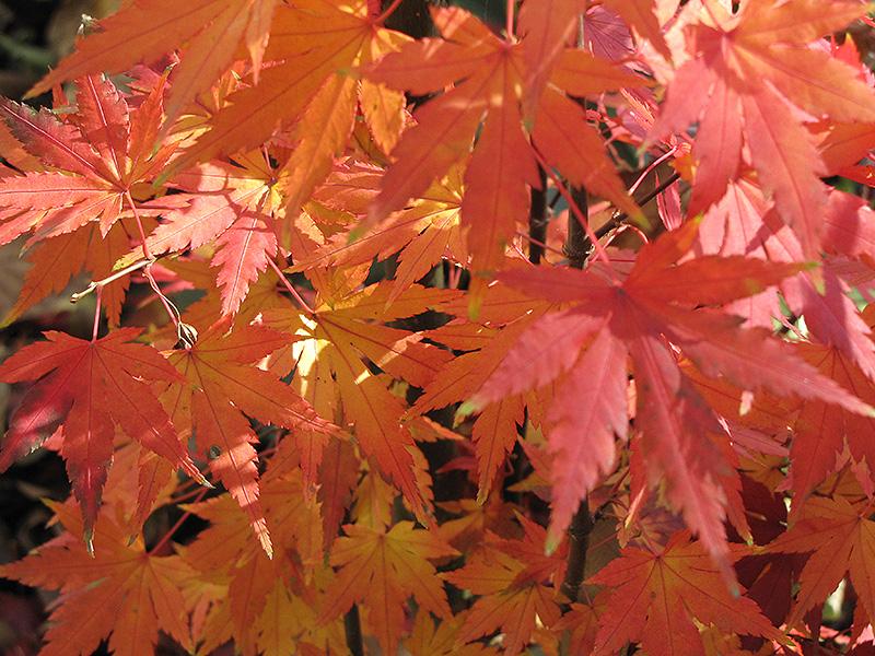 Orange Dream Japanese Maple (Acer palmatum 'Orange Dream') at Country Basket Garden Centre