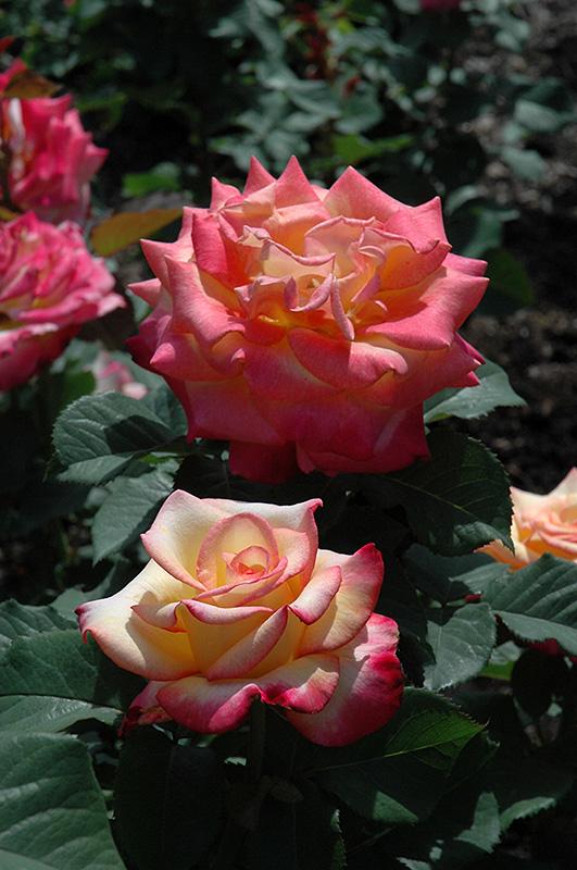 Dream Come True Rose (Rosa 'Dream Come True') at Country Basket Garden Centre
