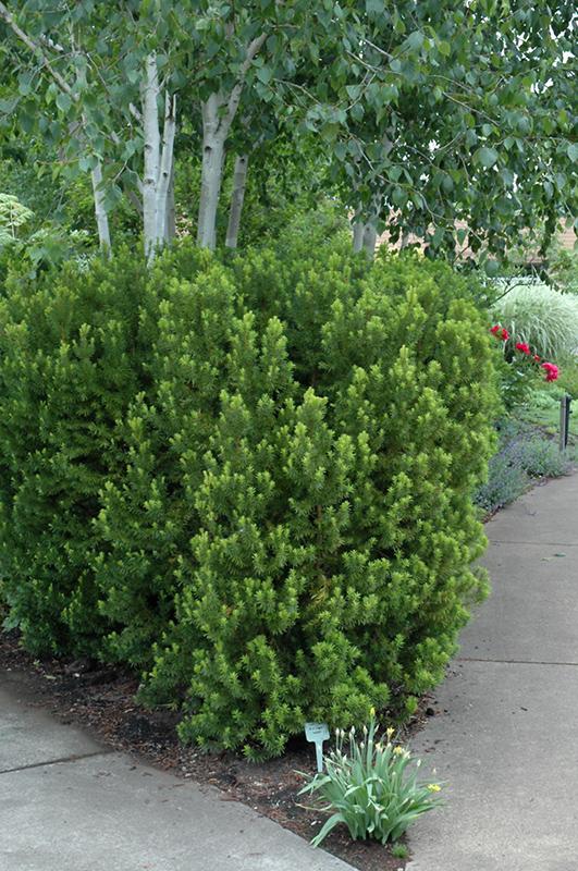 Hicks Yew (Taxus x media 'Hicksii') at Country Basket Garden Centre