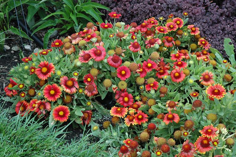 Arizona Red Shades Blanket Flower (Gaillardia x grandiflora 'Arizona Red Shades') at Country Basket Garden Centre