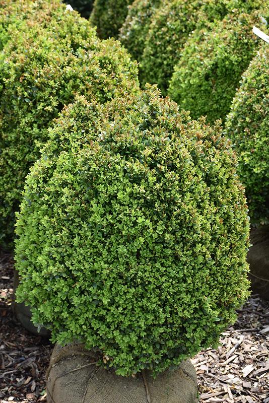 Dwarf English Boxwood (Buxus sempervirens 'Suffruticosa') at Country Basket Garden Centre