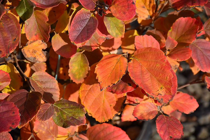 Mt. Airy Fothergilla (Fothergilla major 'Mt. Airy') at Country Basket Garden Centre