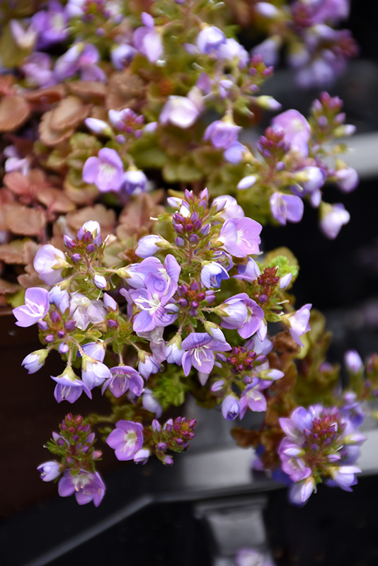 Crystal River Speedwell (Veronica 'Reavis') at Country Basket Garden Centre