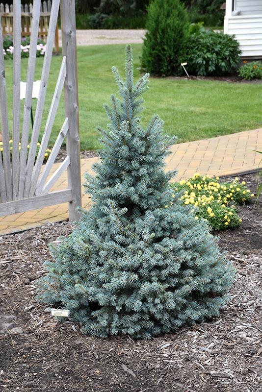Sester Dwarf Blue Spruce (Picea pungens 'Sester Dwarf') at Country Basket Garden Centre