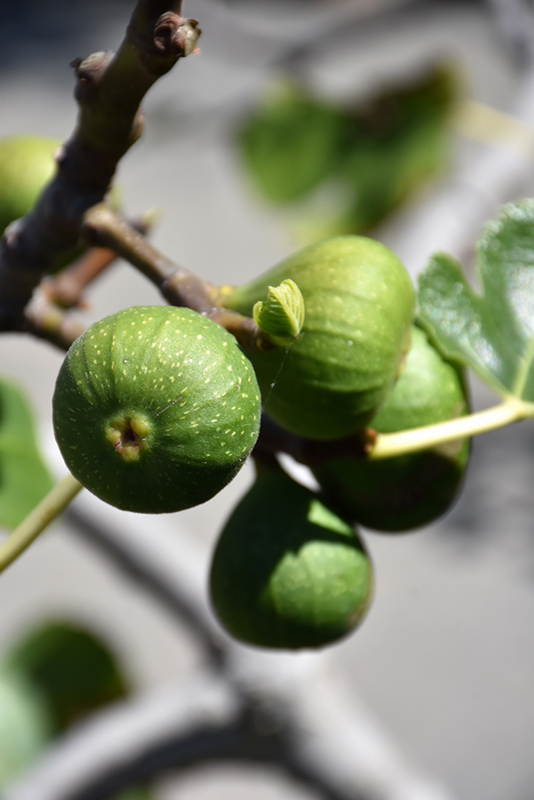 Chicago Hardy Fig (Ficus carica 'Chicago Hardy') at Country Basket Garden Centre