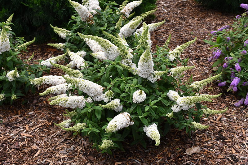 Pugster White Butterfly Bush (Buddleia 'SMNBDW') at Country Basket Garden Centre