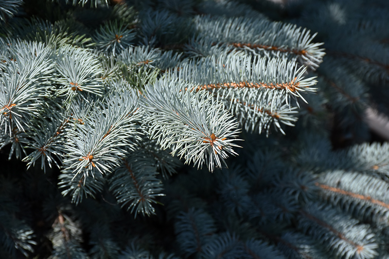 Baby Blue Blue Spruce (Picea pungens 'Baby Blue') at Country Basket Garden Centre