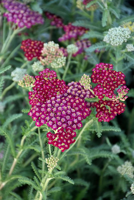New Vintage Red Yarrow (Achillea millefolium 'Balvinred') at Country Basket Garden Centre