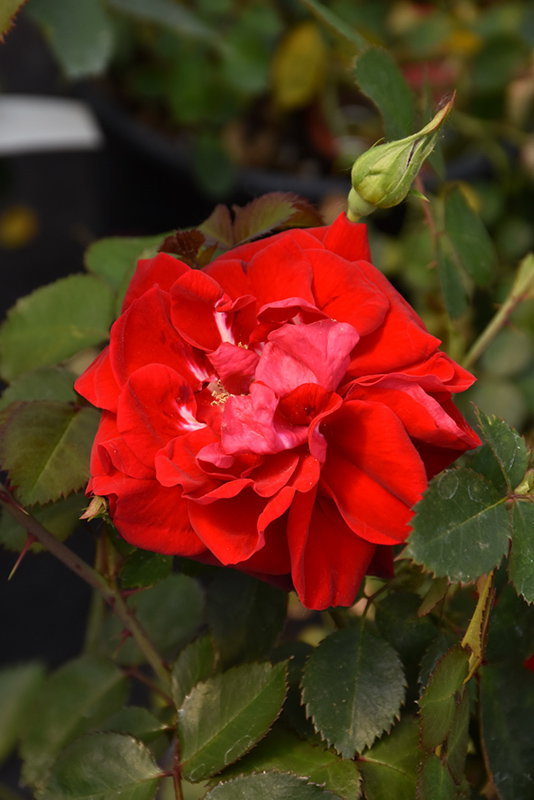 Canadian Shield Rose (Rosa 'CCA576') at Country Basket Garden Centre