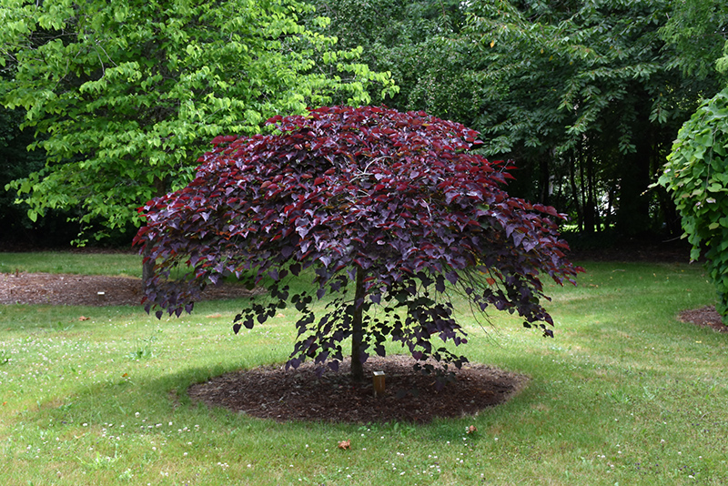 Ruby Falls Redbud (Cercis canadensis 'Ruby Falls') at Country Basket Garden Centre