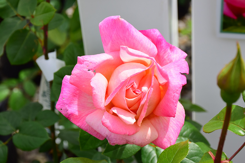 Chicago Peace Rose (Rosa 'Chicago Peace') at Country Basket Garden Centre