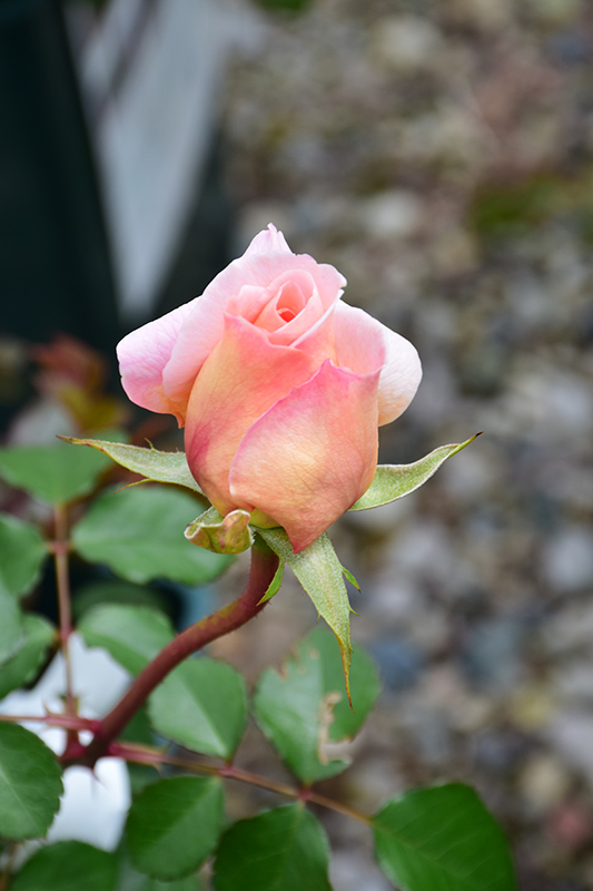 Abraham Darby Rose (Rosa 'Abraham Darby') at Country Basket Garden Centre
