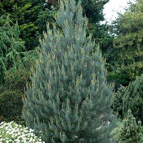 Evergreen Tree Photo